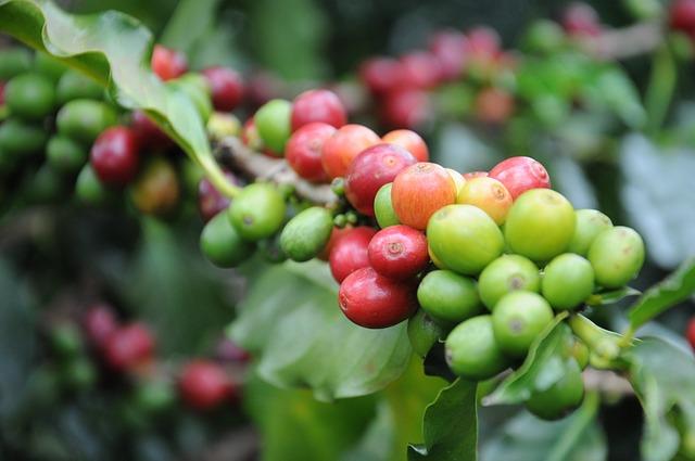 コーヒー豆 木になっている