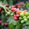 コーヒー豆の産地別にみる味の違い